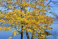 Pioppo giallo al Lago di Vico (giorgiorodano46) Tags: november autumn italy fall lago autunno viterbo lazio pioppo lagodivico lagovulcanico monticimini alberogiallo novembre2015 pioppogiallo giorgiorodano