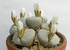 Lithops julii. [C 349, Namibia, 45 km SE of Warmbad] (1) (Succulents Love by Pasquale Ruocco (stabiae)) Tags: southafrica succulent lithops mesembryanthemum namibia mimicry succulents stabiae mimetismo piantegrasse aizoaceae succulente mesembryanthemaceae cactusco mesembs fulviceps floweringstones sassifioriti pasqualeruocco mesembryanthema succulentslove forumcactusco