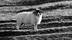 Horny Ram on the croft (mootzie) Tags: horns curly croft harris wooly ram luskentyre
