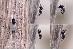 Eurytoma cf nodularis f - 05 XI 2015 (el.gritche) Tags: france garden nest 40 behavior cirsium parasite hymenoptera chalcidoidea eurytomidae nodularis eurytoma