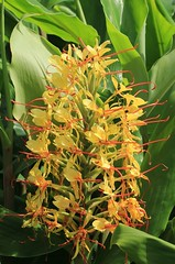 Ginger lily – Kahili Ginger -Hedychium gardnerianum (11) (ailognom2005) Tags: flowers flora wildflowers azores gingerlily flowerstrees