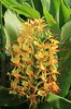 Ginger lily – Kahili Ginger -Hedychium gardnerianum (11) (Ann Collier Wildlife & General Photographer) Tags: flowers flora wildflowers azores gingerlily flowerstrees