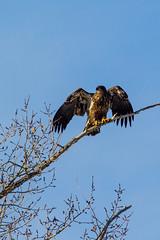 Showing off (begineerphotos) Tags: calgary bird eagle baldeagle alberta immatureeagle