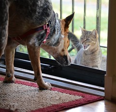 Can someone answer the door? (bankst) Tags: cats dogs animals heelers d5100 portraits2015
