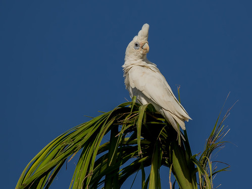 Little Corella (Cacatua sanguinea) (35 – 39 centimetres).01