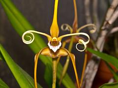 maxillaria fractiflexa (Eerika Schulz) Tags: maxillaria fractiflexa orchidee orchideen orchid orchids eerika schulz