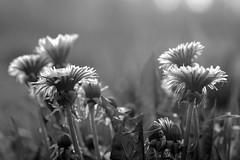 *** (pszcz9) Tags: blackandwhite bw flower nature monochrome fog closeup spring sony poland polska a77 wiosna przyroda kwiat mga beautifulearth zblienie