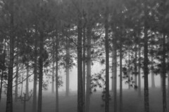 foggy pine forest (Stitch) Tags: weekly forest mist fog bukidnon mindanao philippines