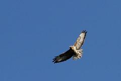 Common Buzzard (david.england18) Tags: commonbuzzard deathlyquiet smallbirds various tits blue coal great robins nuthatches queensparkheywood canon7d canonef300mmf4lisusm birdsuk