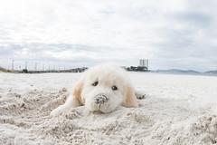 Beto (sairacaz) Tags: golden retriever dog perro pet puppy playa beach vigo galicia spain cachorro canon eos70d samyang 8mm