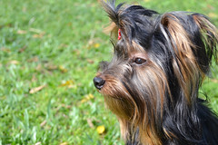 (quadros_larissa) Tags: yorkshire yorkie puppy pet terrier dog