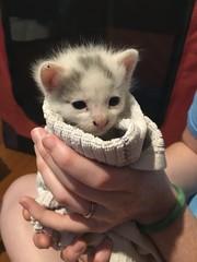 August Litter (DragonSquared Studio) Tags: foster kitten kittens kitty cat cats rescue adopt adoptable adoption shelter kittendorm dorm baby