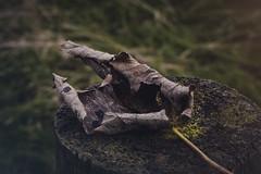 Autumnal melancholy (katatomicuk) Tags: leaf decay dead autumn autumnal cheshire 27365 teggsnose