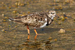 Ruddy Turnstone - Arenaria interpres (Roger Wasley) Tags: ruddy turnstone arenariainterpres bird wader fuencaliente saltpans lapalma canaryislands spain spanish europe european