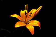 IMGP4519 Lily (tsuping.liu) Tags: outdoor organicpatttern blackbackground bright blooming nature natureselegantshots naturesfinest plant petal photoborder perspective passion pattern photographt photoboder