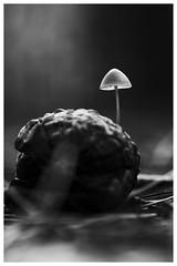 ChampiB&W (Hexilene) Tags: bokey black blanc bw noiretblanc nikon nikonpassion nature nikond750 noir nuit mushroom proxy