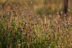 The good life (surfingstarfish) Tags: field feld wiese meadow flower wiesenblume blumen blühen sommer summer summertime natur nature drausen outdoor