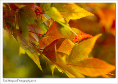 Acer Tree (Paul Simpson Photography) Tags: naturalworld nature sonya77 sonyphotography imagesof imageof photoof photosof plantlife paulsimpsonphotography leaves leaf autumn autumncolour fall fallcolor color coloursofautumn acer acertree maple