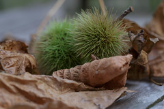 Autumn- Tamme kastanje (Castanea sativa) (Rudaki1959 thanks for looking) Tags: autumn leafs leaf stills season closeup macro food nature natural earthnaturelife