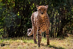 A cheetah enjoys the autumn sun (Saarblitz) Tags: acheetahenjoystheautumnsun herbst sonne herbstsonne licht strahlen raubkatze outdoor natur bltter strucher punkte flecken leuchten portrt schatten fantasticnature animalplanet