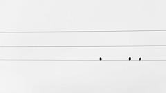 outsider (Daniel Stroebel) Tags: ausenseiter lebewesen tier vogel stromleitung schwarz weis sw einfarbig natur minimalismus natrlicheslicht vorhandeneslicht nikon d7000 deutschland bayern outsider creatures animal bird powerline black white bw monochrome nature minimalism naturallight availablelight germany minimalistic
