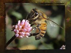 IMG_0424 c (ceballos-fotos) Tags: abejas flowers fiori natura macro close