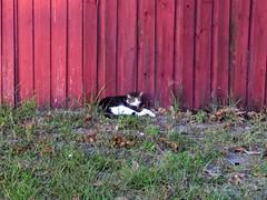 2016- Neighborhood Cat 03 (teresamarkos) Tags: cat cats kitten kittens felines feline