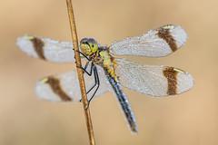 Sympetrum pedemontanum (Prajzner) Tags: sigma105mmmacro sympetrumpedemontanum bandeddarter subcarpathia nikond7100 nature dofstacking macro odonata prajzner poland dragonfly