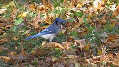 Blue Jay (Baractus) Tags: blue jay john oates city central park manhatten new york usa