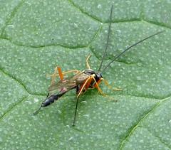 Ichneumon Wasp (gailhampshire) Tags: ichneumon wasp
