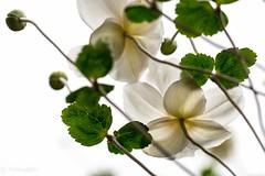 Japanese anemone (Yorkey&Rin) Tags: 10月 2016 autumn em5 flower inmygarden japan japaneseanemone kanagawa kawasaki macro october olympus olympusm60mmf28macro rin ta132306 シュウメイギク 秋 庭