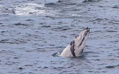 Peek above water (Geoff Main) Tags: australia canon7dmarkii canonef300mmf28lisiiusm canonefextender20xiii humpbackwhale nsw nativeanimal nswsouthcoast whale