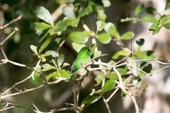 Last look at the Cuban Tody (Laura Erickson) Tags: cuba cubantody birds todidae species places coraciiformes barrancolicubano barrancorrio cartacuba todusmulticolor