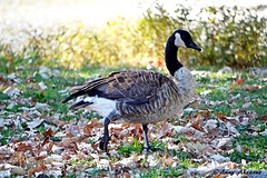 Canada Goose Walking in the Autumn Leaves (--Anne--) Tags: autumn canada goose geese canadian bird birds nature wildlife waterfowl