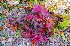 Little Red Oak (agasfer) Tags: 2016 northcarolina hiking appalachia autumn foliage colors pentax k3 topaz restyle smcpentaxda12435mmal panthertownvalley