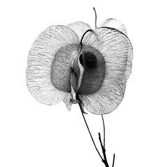 Hopseed Bush Seed (j.towbin ©) Tags: allrightsreserved© backlit macro seed hopseedbushseedpod hopseedbush seedpod monochrome bw macromondays