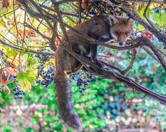 The Fox Gets The Grapes (Davestarling) Tags: garden canon5dmarkiv grapes fox london canon70200mmf4l nature