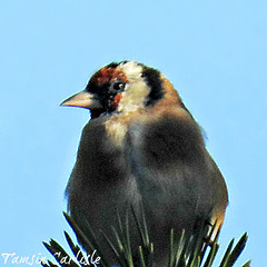Goldfinch on Pine (tinlight7) Tags: goldfinch finch bird pine abant turkey