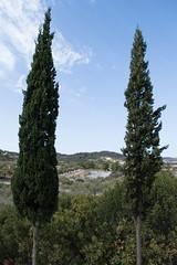 (Psinthos.Net) Tags:  psinthos october autumn    countryside sunnyday   day light  bluesky   iamatiko matiko iamatikon iamatikopsinthos       olivetrees fields   forest cypresstrees   shrubs trees  treetrunk treetrunks