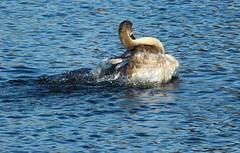 """Juvenile Swan No 4 (jdathebowler Thanks for 1.1 Million + views.) Tags: cygnusolar juvenilemuteswan swan familyanatidae waterfowl muteswan bathingswan """"canonflickraward"""