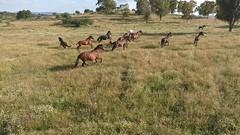 Caballos desde dron (Seges Medioambiente) Tags: fauna dron caballos