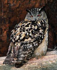EURASIAN EAGLE OWL IN WERFEN . . .  (AUSTRIA, SALZBURG, ST-JOHANN-IM-PONGAU, WERFEN) (KAROLOS TRIVIZAS) Tags: austria salzburg stjohannimpongau werfen owl eurasianeagleowl bird nocturnal bubobubo strigidae animal fauna feathers plumage eyes look tufts avian wings aves