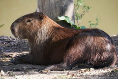 Capybara At Rest (Susan Roehl) Tags: braziltrip2016 southwildpantanallodge thepantanal southamerica capybara atrest largestrodentintheworld hydrochoerushydrochaeris hydrochoerusgenus animal outdoors river sueroehl naturalexposures photographictours panasonic lumixdmcgx8 100400mmlens handheld coth5