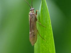 Caddis Fly - Tinodes waeneri (David in Chippenham) Tags: caddisfly insect uk newent dld oct 2016 glos tinodeswaeneri