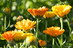 Orange (leaving-the-moon) Tags: 201607 baden blume blumen blüten color colors deutschland farben flower flowers gemany kraichgau natur nature pflanzen plant