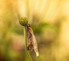 More beautiful autumn decay (anemone) (Unni Henning) Tags: decay deadflower anemone yellowbackground closeup wilting nature flower blossom garden autumn bokeh warwickshire england