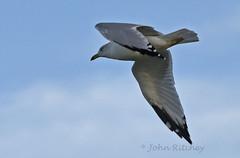 Ring Billed Gull (ritchey.jj) Tags: gulls