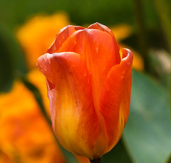 Red, orange and green (Steve-h) Tags: flowers stephensgreen tulips nature natura naturaleza pretty blossoms spring april 2016 digital exposure ef eos canon camera lens ststephensgreen dublin ireland eire europe europa european irish citycentre downtown steveh bright colours colour