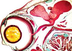 P14d_001_ (Franck Genten) Tags: histologie histology microscopie microscopy biologie biology science fish poisson vivant living couleurs colours poecilia guppy endler trichromemasson trichrome oeil eye lens cristallin corne cornea chorode choroid rtine retina sclera sclrotique sclre opticnerve nerfoptique cerveau brain opticdisc disqueoptique