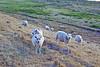 Baa meh (Martijn A) Tags: sheep schaap schapen animals farm dieren natuur nature marenkessel noordbrabant the netherlands nl nederland dutch kleur color colour canon d550 dslr 35mm lens wwwgevoeligeplatennl boerderij